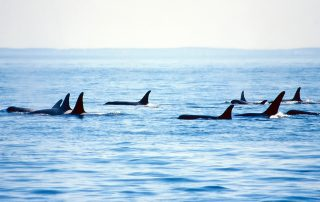 Pod of Orca Whales